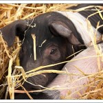 Piggies and other farm animals – what's not to love