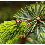 Ladybirds and pine shoots