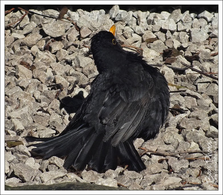 A blackbird catching some rays.