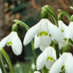 Snowdrops, paper roses and daisies