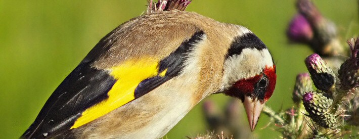 Goldfinch feeding on the tiny seeds in thistle heads.