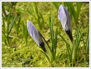 How fabulous is the curled structure of these crocus petals with their tiny delicate stripes.