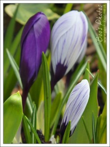 I couldn't even begin to catch the fabulous lustre of these purple crocuses.
