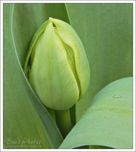 Tulip bud, all bulbous and soon to burst into colour.