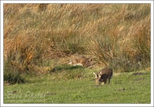 I've rarely seen a hare for more than a fleeting glance, let alone watch several for an extended period of time.
