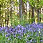 Incredible showing of bluebells this year