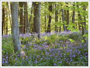 I absolutely love to see bluebells growing in woodland.