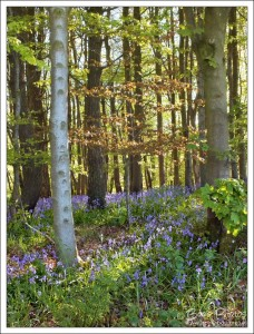 Gorgeous woodland bluebells in golden evening spring sunshine.