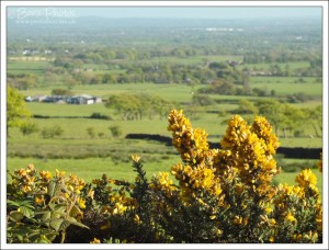 Vibrant gorse in flower at the hedgerow.  The farmland behind it makes a nice backdrop too.