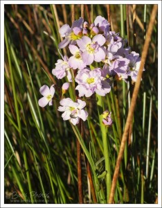 Cuckoo Flowers, so delicate and pretty.  We often see them growing in grass verges, as these were.