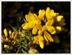 Vibrant yellow gold gorse flowers in the evening sunshine.