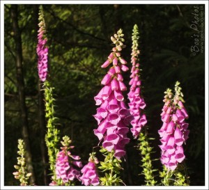 On a recent walk, we saw Foxgloves that were as tall as I'd ever seen, this patch were as tall as me.