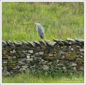 The adjacent river and supporting streams through the farmland make it a good feeding ground for herons and we see them most days.
