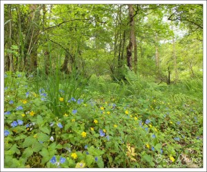 I love to see the woodland flowers, like these speedwells and yellow pimpernells, amongst the trees.