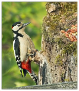 The male woodpecker's practice was to grab a nut off the top and take it down the side to break it up against the trunk.