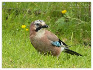 The jay didn't realise I was watching him retrieve nuts from his stash.