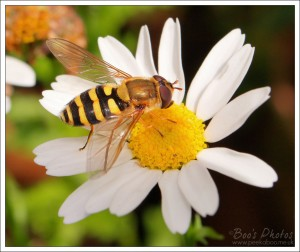 This is a much smaller daisy with a different species of hoverfly.