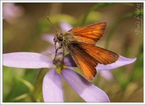 I've not seen a 'small skipper' butterfly in the garden before and he was very patient with my photography.