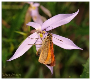 This 'small skipper' butterfly was an unusual visitor in the garden and seemed happy to pose for me.