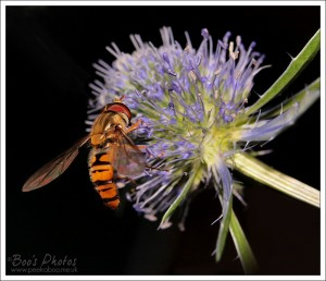 I've always been fond of hoverflies and love to see them in the garden.