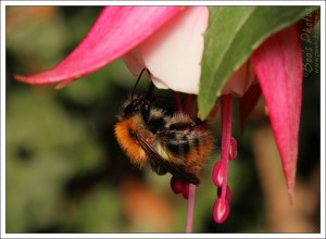 Bumble bee heading inside a fuchsia flower. They're hard to catch in an interesting pose as they move so fast.