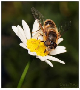 All the varieties of daisies in the garden are attractive to insects.
