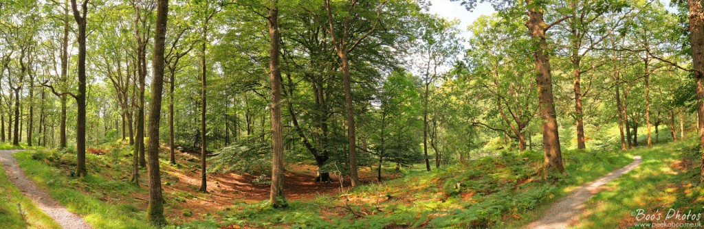 This magnificent mature beech tree holds court over the younger trees around it in Penny Rock Wood near Grasmere. 5 portrait frames stitched.