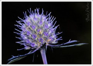 My sea holly is the most fabulous indigo colour, even the stems. This flower is around half an inch in diameter and an incredibly complicated structure.