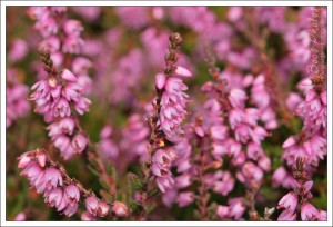 Exquisite tiny heather flowers.