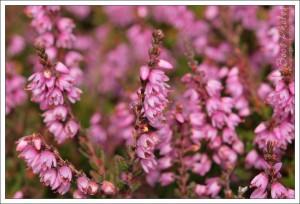 Exquisite tiny heather flowers.