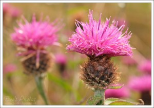 The thistles were also especially abundant this year.