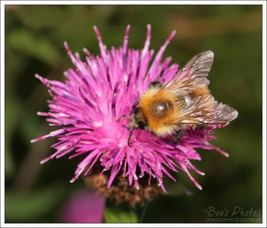 A good number of the thistles will have a bee atop them.