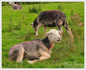 Herdwick sheep, an iconic and familiar sight in the Lake District.