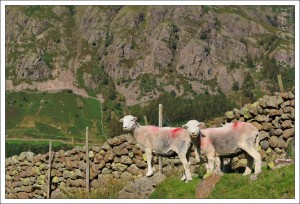 Herdwick sheep in the Langdales. They were curious, but I couldn't get any closer.