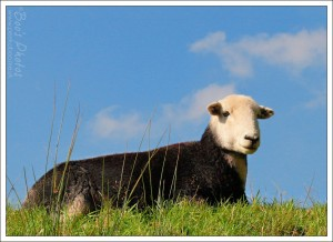 A Herwick ewe. They're born with black wool and little pointy faces and their coat lightens and their faces round as they grow older.