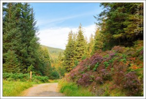 A lovely walk through the trees at Whinlatter above Keswick. The heather was gorgeous.