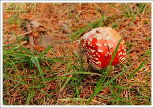 I always see Fly Agaric mushrooms in the same place at the base of a very large conifer. These were just emerging so still pristine.