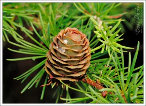 I love seeing fir cones on the trees, they're as beautiful as any flower.