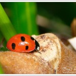 I saw my first ladybird of 2016 on a gorgeous sunny spring day in early March. Obviously catching some rays to warm and wake up.