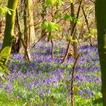It's bluebell time again – what a treat