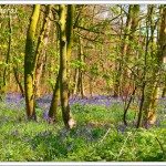 It's such a heart-warming sight to see bluebells emerge in woodland, especially when lit by glorious spring sunshine.