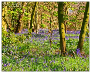 A gorgeous carpet of bluebells spread through deciduous woodland.