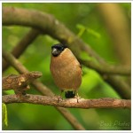 One of my female bullfinches, we currently have two pairs who visit us daily.