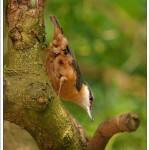 We have a pair of nuthatches who are seen regularly on both feeders and the bird tables.
