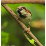 House sparrows are not as prolific as you might think, being in decline over recent years.