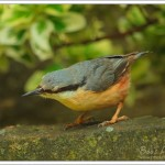 The nuthatch was intently watching something, then hopped down and snagged some creepy crawlies in the wall below.