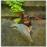 One of my pair of resident nuthatches. I just caught this series of photographs as we returned home in the car and it was on the wall adjacent to where we park.