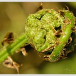 The tight bud of a fern frond about to unfurl itself, already fully formed.
