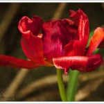This tulip was rather small and certainly past its best, but I loved the abstract of the colours and textures.