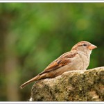 I've learnt to identify particular sparrows as each has their favourite perches and route through the garden.